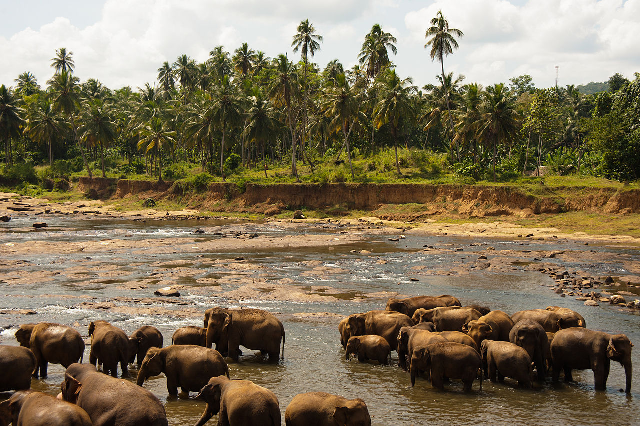 Udawalawe Sri Lanka  City pictures : Bathing elephants. Udawalawe National Park. Sri Lanka ...