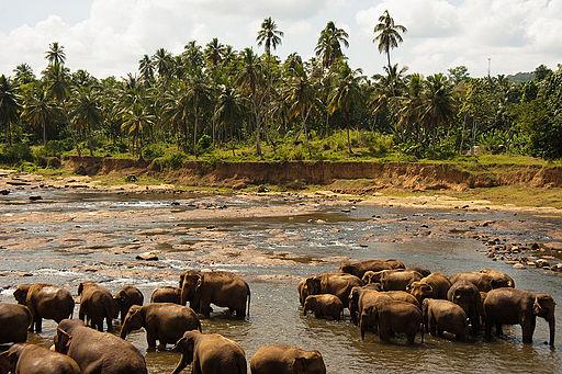 Bathing elephants. Udawalawe National Park. Sri Lanka