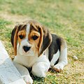 Beagle 2.jpg