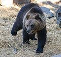 Bear2-1762 (14983956206).jpg