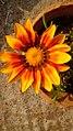 Beautiful flower in Begampur.jpg