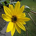 Beautiful yellow flower of a Helianthus tuberosus.jpg