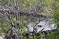 Beaver, Lamar Valley (7d4f93e5-a5d7-4664-af59-9b68159fd2f4).jpg