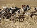 Bedouins IMG 1686.JPG