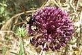 Bee or wasp or what? (MakGi) (35822361521).jpg