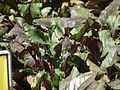 Beet root plant from lalbagh 2331.JPG