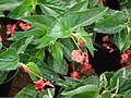 Begonia Dragon wings from Lalbagh flower show Aug 2013 7875.JPG