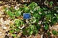 Begonia obliqua (Begonia odorata) - Marie Selby Botanical Gardens - Sarasota, Florida - DSC01648.jpg