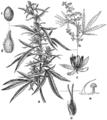 Beklädnadsväxter, Cannabis sativa, Nordisk familjebok.png