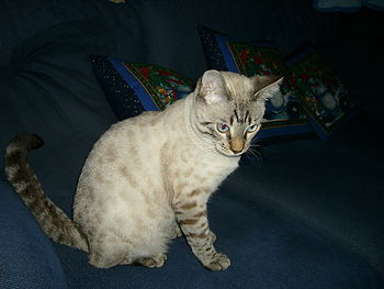 A snow-spotted Bengal kitten, 9 months old. At...
