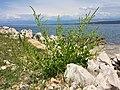 Beta vulgaris subsp. maritima sl12.jpg