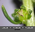 Beta vulgaris subsp. maritima sl8.jpg