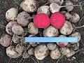 Beta vulgaris var conditiva Буряк столовий сорт Воєвода - загальний вигляд врожаю.jpg