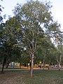 Betula pendula, Niš.jpg