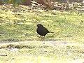 Bird - (PL) Kos (26135750517).jpg