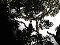 Bird Great Hornbill Buceros bicornis IMG 8659 10.jpg