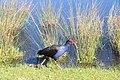Birds in Centennial park, Sydney.jpg