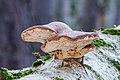 Birkenporling - birch polypore - birch bracket - razor strop - Piptoporus betulinus - 05b.jpg