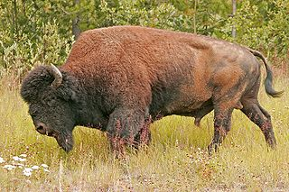 Species of bison