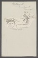 Bittacus - Print - Iconographia Zoologica - Special Collections University of Amsterdam - UBAINV0274 064 03 0002.tif
