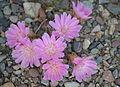 Bitterroot-flowers-lolo-mt-06012013-rogermpeterson-002 (8970347505).jpg