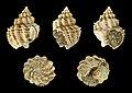 Bivetiella cancellata fossil 01.jpg