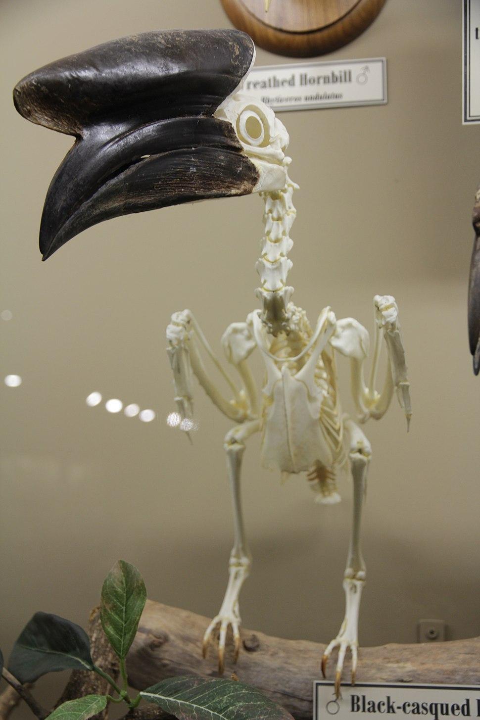 Black-casqued hornbill male skeleton