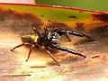 Black-headed Jumping Spider.jpg