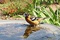Black-headed grosbeak (26356366753).jpg