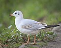 Black-headed gull (25480111968).jpg