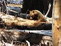 Black Bear- Ursus americanus (9401052951).jpg