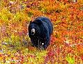 Black Bear -- Lake Louise Gondola Terrminus Alberta (Canada) September 2019 (50073299212).jpg
