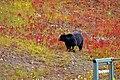 Black Bear -- Lake Louise Upper Gondola Terminus Alberta Canada September 2019 (50073047891).jpg