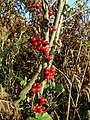 Black Bryony (Tamus communis), Warren House Gill - geograph.org.uk - 1582465.jpg