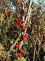 Black Bryony (Tamus communis), Warren House Gill - geograph.org.uk - 1582465.jpg