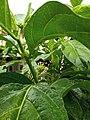 Black Butterfly. id.jpg
