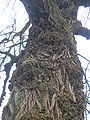 Black Poplar burrs and bark.JPG