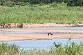 Black Storks on the Sabie River (3429955584).jpg