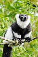 Black and white Ruffed Lemur (24758521350).jpg