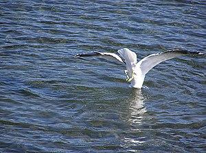 Gull diving