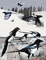 Black billed magpie From The Crossley ID Guide Eastern Birds.jpg