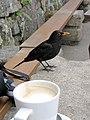 Blackbird at Juliet's Garden, St Mary's, Scilly - geograph.org.uk - 1605280.jpg