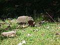 Blau schimmerndes Insekt Waldgebiet Pforzheim.JPG