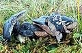 Blauer Rötling Entoloma bloxamii.JPG