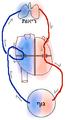 Blood circulation (human) he.png