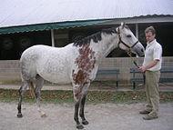 Bloody Shoulder on a Grey Horse.jpg