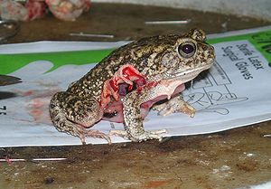 Bloody Frog