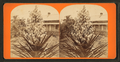 Blossom from the Spanish bayonet. St. Augustine, Florida, from Robert N. Dennis collection of stereoscopic views.png