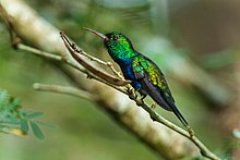 Blue-chested Hummingbird - Panama H8O2572.jpg