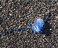 Blue Jellyfish (3303742227).jpg